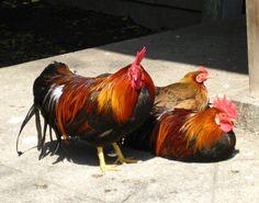 05.24矮鶏.jpg
