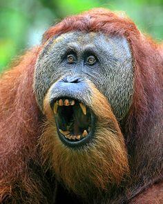 Sumatran Orangutan by Rob Kroenert, via Flickr