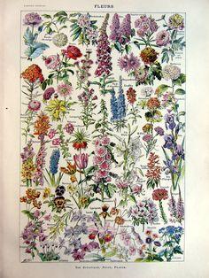 vintage french 1923 flowers engraving / original antique plantes plate color print / gorgeous vintage botanicals