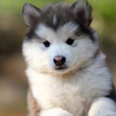 Husky Puppy - Oh so cute :)