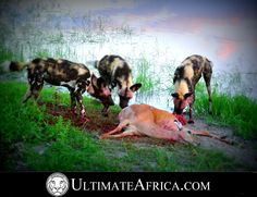 African Safari , Wild Dog making a kill @ Chitabe , #africa #safari #african safari #africansafari #Chitabe #Ultimateafrica #animal #animals #Botswana #okavango #okavango delta #okavangodelta #holiday #vacation #luxurysafari #luxury safari #wildlife #dog #dogs #kill #reflection #feeding #nature #wilddog #wilddogs #impala