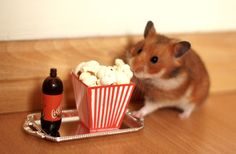 Going to the cinema – Animals Hamster Pics, Hamster Care, Baby Hamster, Hamster Russe, Animals And Pets, Funny Animals, Hamster Bedding, Hamster Habitat, Funny Hamsters