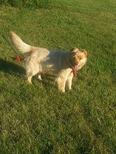Founddog 7-4-14 #Versailles #KY female http://lexington.craigslist ...
