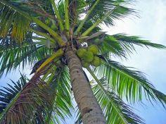 Como hacer aceite de coco