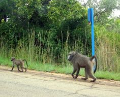 This is mother Baboon and baby that stole our bread from our chalet , near Gods Window South Africa 2013