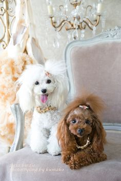 French Poodles