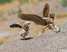 Burrowing-Owls-3__880