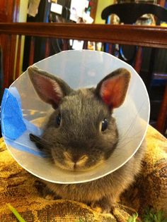 Bunny cone of shame.