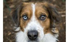 Meet Zeke! A very handsome 1-year-old Australian Shepherd mix, who is waiting to greet you with lots of tail wags! Zeke is looking for an active family that will provide him with lots of fun activities. He is the perfect companion for anyone with an active lifestyle. Zeke loves to go on walks, hikes, jogs, or just run around the yard. So come meet Zeke at the Seattle Humane Society, you'll fall in love at first sight!  View Zeke's full profile online at www.seattlehumane.org Australian Shepherd Mix, Lost Pets, Just Run, March 2014, Losing A Pet, Love At First Sight, Humane Society, Fun Activities, Walks