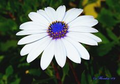 MARGARITA DEL CABO - Osteospermum Ecklonis  by Montse Poch, via Flickr