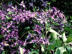 Clematis, full sun/part shade, only 4-6 ft high