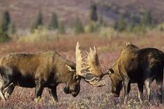 Bull Moose Wildlife, Denali National Park, Alaska, USA Photographic Print by Gerry Reynolds Moose Hunting, Moose Antlers, Bull Moose, Bow Hunting, Moose Animal, Moose Pictures, Moose Decor, Alaska Usa, Deer Family