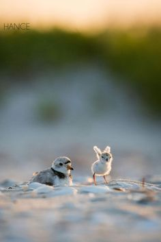 Ears or Wings? Baby plover by Eric Hance on Cute Birds, Pretty Birds, Beautiful Birds, Animals Beautiful, Cute Baby Animals, Animals And Pets, Funny Animals, Cute Creatures, Beautiful Creatures