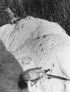 Male and female paradise parrot (Psephotus pulcherrimuson) near nest, photographed in the wild, Burnett River, Queensland, 1922, Cyril Henry H. Jerrard.