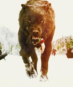 Jacob Black- in Wolf version... eating the a Vap arm...