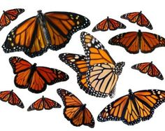 Large Monarch Butterfly Vinyl Decal Set
