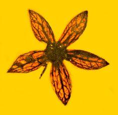 A specimen of the 100-million-year-old flower Tropidogyne pentaptera.