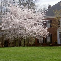 Yoshino Cherry Trees - ornamental cherry with blossoms colored pink to white