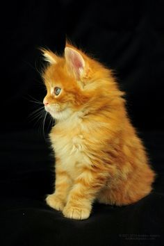 Maine Coon photo: AmbientCat Banzai, Ambient cat Maine Coon MCO d22