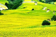 Terraced rice fields Saga JAPAN
