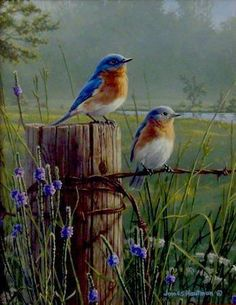 """Edge Bluebirds"""" by Jim Hautman - love the detail in the barb wire. More""""Meadow's Edge Bluebirds"""" by Jim Hautman - love the detail in the barb wire. Bird Pictures, Pictures To Paint, Pretty Birds, Beautiful Birds, Watercolor Bird, Watercolor Paintings, Bird Paintings, Bird Painting Acrylic, Watercolor Artists"""