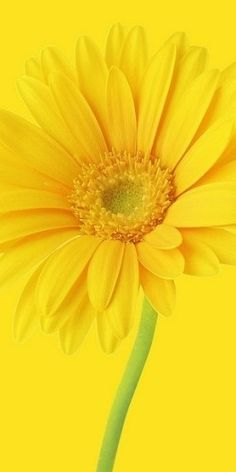 A beautiful yellow gerbera daisy. Lemon Yellow, Orange Yellow, Colour Yellow, Pineapple Yellow, Yellow Flowers, Beautiful Flowers, Yellow Sunflower, Pastel Flowers, Exotic Flowers