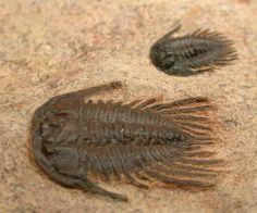 Lehua ponti. 35×20 mm. Trilobita, Phacopida, Cheirurina, Cheiruridae. Ordovicien. Tanssikhte, Zagora, Maroc. (600×499) Extinct Animals, Prehistory, Geology, Bugs, Bing Images, Rocks, Sad, Fossils, Beetle