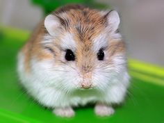 """Hamsters are adorable creatures and make delightful pets. They are mammalian, but are also classified as a rodent. The word rodent comes from the French """"rodere"""" which means to gnaw; hamsters are referred to as rodents Robo Dwarf Hamsters, Hamsters As Pets, Pet Rodents, Funny Hamsters, Chinchillas, Teddy Hamster, Cage Hamster, Hamster Care, Cute Baby Animals"""