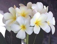 """Plumeria """"White"""""""