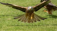Red kite spotted in mid-Wales (visitwales.com)
