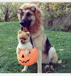 #cute #german #shepard dressed as a #lion with #boo the #pomeranian #puppy in a #pumpkin #bucket.  #halloween #trickortreat