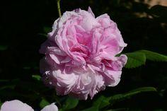 Blush Damask – pehmo | Vesan viherpiperryskuvat – puutarha kukkii