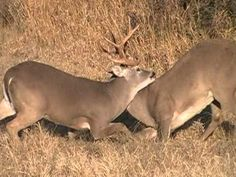 South Texas Whitetail Deer Fight
