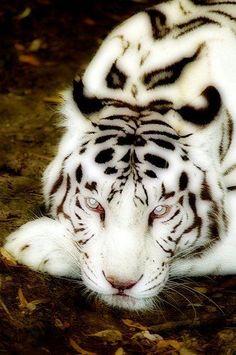 Albino Tiger with blue eyes Albino Dog, Rare Albino Animals, Pretty Cats, Beautiful Cats, Animals Beautiful, Majestic Animals, Simply Beautiful, Beautiful Things, Lynx