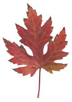 File:Autumn Silver Maple Leaf.jpg - Wikimedia Commons