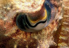 Common Cuttlefishes.  I find them fascinating & brilliant.
