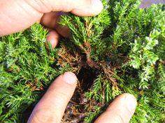 How to take juniper cuttings for bonsai.
