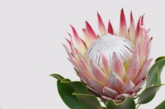 King protea flower on white background - Buy this stock photo and explore similar images at Adobe Stock Protea Art, Flor Protea, Protea Flower, Flora Design, Design Floral, Watercolor And Ink, Watercolor Flowers, African Tattoo, King Protea