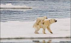 polar bear cub hitches a ride