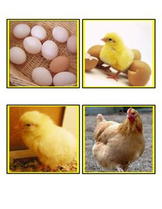 The Egg to Chicken Life Cycle sequence cards teach preschoolers logical thinking skills through science