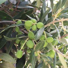 Olive Tree (as tree)