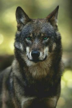 Wolf, His Face is the Look of Strength. Wolf Photos, Wolf Pictures, Animal Pictures, Wolf Spirit, Spirit Animal, Beautiful Creatures, Animals Beautiful, Animals And Pets, Cute Animals
