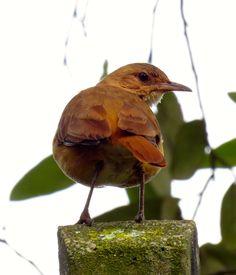 Foto joão-de-barro (Furnarius rufus) por Leila Esteves | Wiki Aves - A Enciclopédia das Aves do Brasil