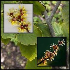 Hamamelis Se la conoce también como vara mosqueada y avellano de la bruja.  Se emplean sus hojas y la corteza.
