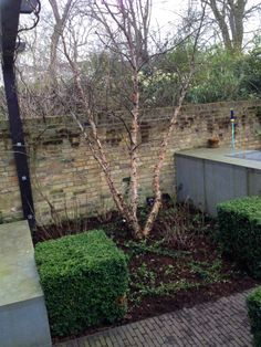 Multi stemmed Betula nigra underplanted with ivy. My client and lovely friend wanted to create and evergreen scene Betula Nigra, Notting Hill, Evergreen, Ivy, Sidewalk, Scene, Create, Garden, Plants