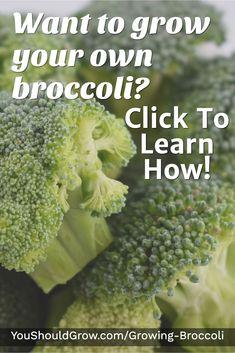Want to grow your own broccoli? Click To Learn To Grow Broccoli In Your Backyard Vegetable Garden. YouShouldGrow.com/Growing-Broccoli #gardeningtips #gardeningforbeginners #vegetablegarden #gardening #gardens #gardenideas
