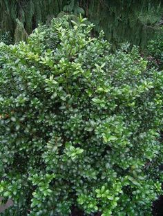 Shade or sun: Japanese holly (Ilex crenata) versatile evergreen shrubs come in many size varieties. 'Convexa' here can grow 6' high & wide, but easy to prune smaller. Also consider narrow varieties like 'Mariesii' or 'Sky Pencil.'