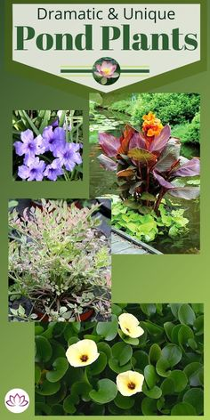 Find all the best aquatic plants for your pond or water feature. From plants that float on the surface to lotus and horsetail rush, we will cover all the best choices. #PondPlants #WaterGardenPlants #AquaticPlants #PondPlantTypes Water Garden Plants, Container Water Gardens, Pond Plants, Aquatic Plants, Container Plants, A Frame House, Small Ponds, Back Gardens, Grasses