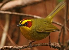 The Golden-browed Warbler (Basileuterus belli) is a species of bird in the Parulidae family, the New World warblers. It is found in El Salvador, Guatemala, Honduras, and Mexico. Its natural habitat is subtropical or tropical moist montane forests.