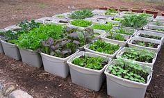 NUTRI-HORTAS: Mini-hortas em potes de sorvetes